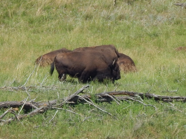 Buffalo in Custer State Park, South Dakota.