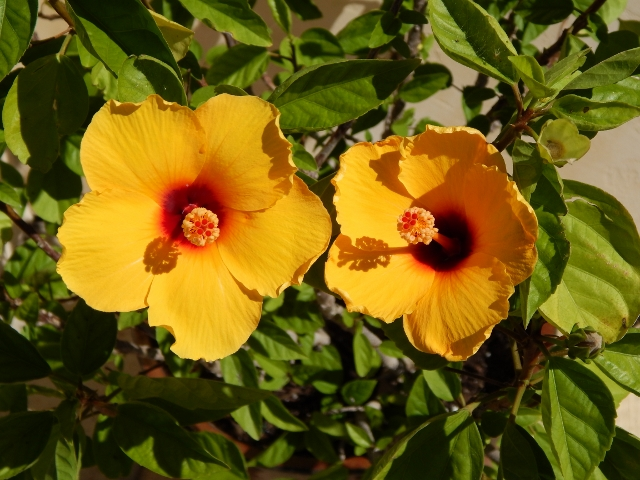A yellow hibiscus plant greeted us at Elmaro Vineyard.