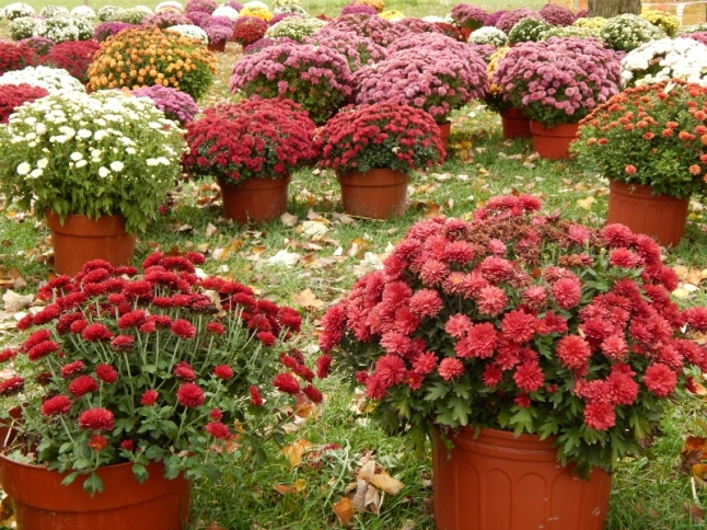 Picking out mums