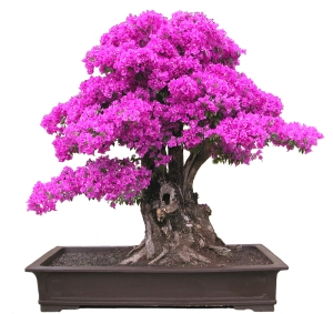 bonsai bougainvillea haiku