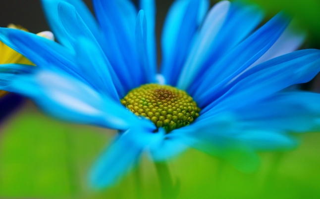 blue-daisy haiku